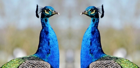 Close up of a colorful indian peacock Reklamní fotografie