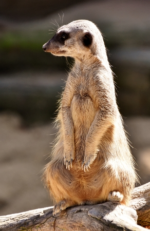 Close up of a meerkat standing guard Stock Photo