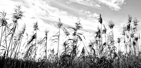 Landscape with reed grass in sepia Фото со стока