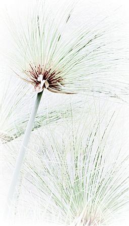 Close up of beautiful Cyperus papyrus grass