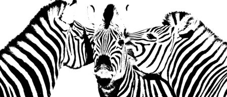 Close up of a playful group of zebras