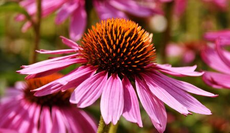 Close up of beautiful pink coneflower blossoms