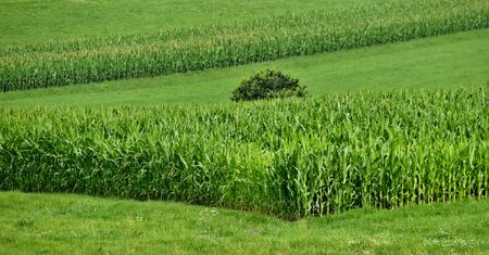 Rural landscape with green maize field in summer