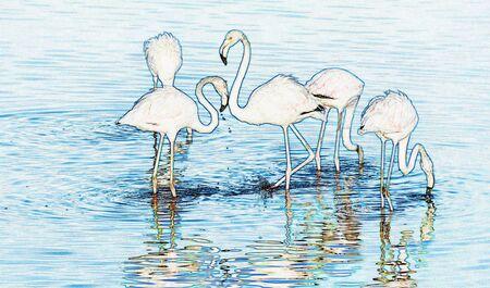 Lesser flamingos feeding at the Milnerton Lagoon early in the morning 版權商用圖片