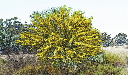 Landscape with a yellow flowering mimosa tree