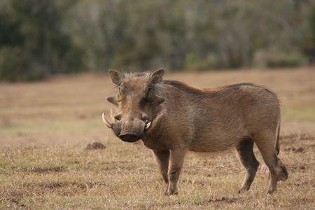 grazer: Warthog
