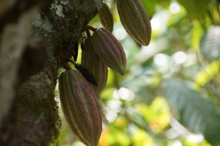 litschi: Cacao Tree - Kakaobaum