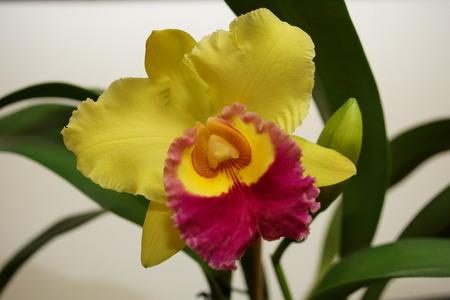 cattleya orchid: Cattleya Orchid 17 BLC Chunyeah