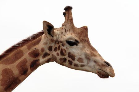 wil: giraffe head