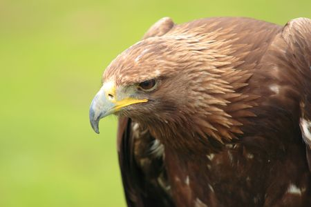 iberian: Iberian eagle looking assuredly