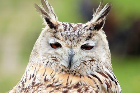 l first: White owl head detail