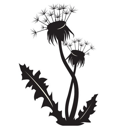 flowers fluffy: Dandelion silhouette on white background