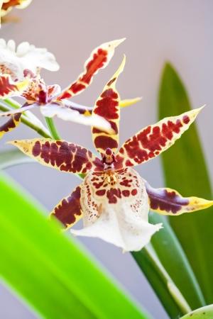 Bakerara Flying High Hawaii orchid photo