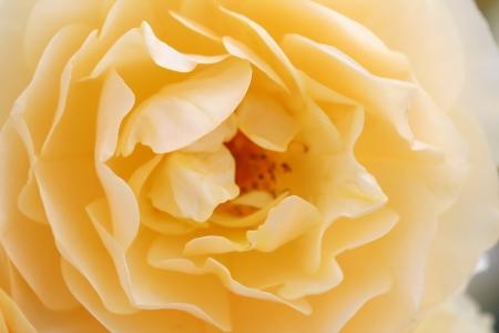 Light yellow rose macro shot photo