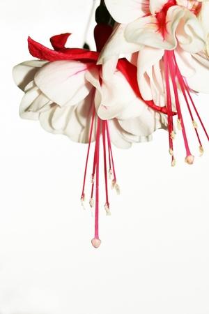flores fucsia: Rojas y blancas flores fucsias no aislados