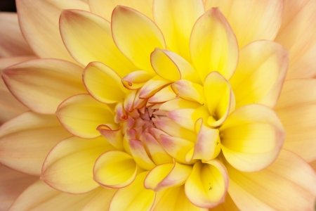 Yellow dahlia macro photo