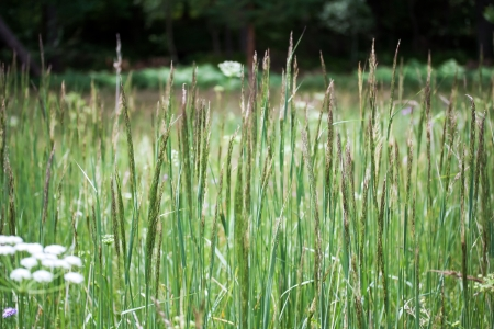 carex: Carex  commonly known as sedges, west europe meadow Stock Photo