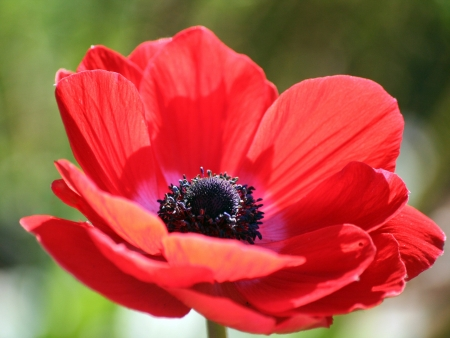Anemone coronaria  or poppy anemone, Spanish marigold photo