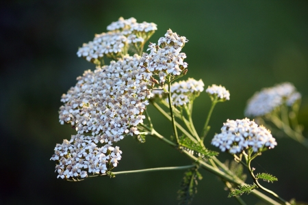 Achillea millefolium, known commonly as yarrow. Wildflower photo