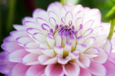 White and pink dahlia macro photo
