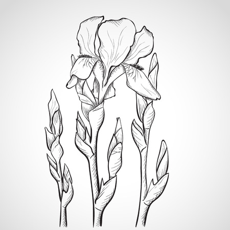 outline flower: Sketch iris flowers, hand drawn, ink style