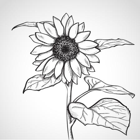 dibujos lineales: Girasol Sketch, dibujado a mano, estilo de la tinta