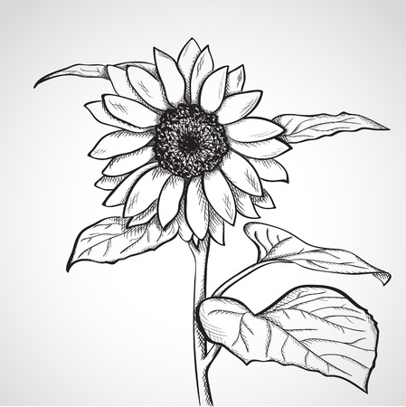 line drawings: Sketch sunflower, hand drawn, ink style
