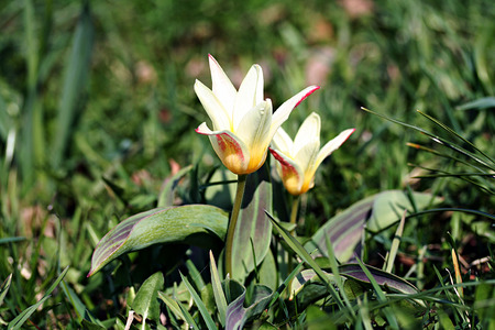 Lily-flowered yellow tulip in garden photo