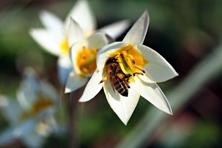 Botanical tulip - Tulipa turkestanica with bee photo