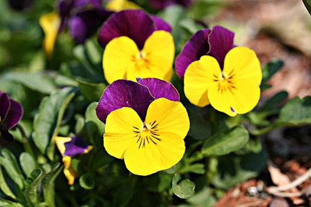 Pansies in garden, displaying foliage, flowers and buds photo