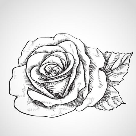 rosaceae: Sketch rose, hand drawn, ink style Illustration