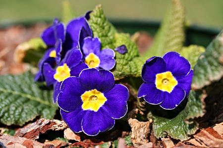 polyanthus: Garden primula cultivar, blue flowers Stock Photo