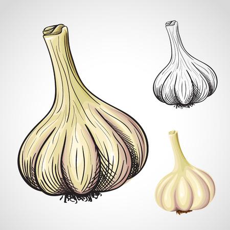 allium: Hand drawn artistic illustration of garlic head