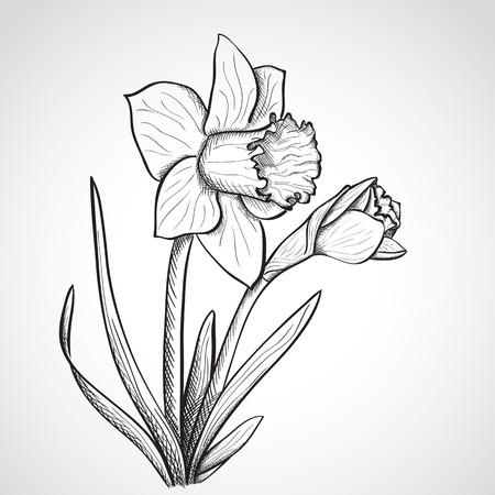 Sketch daffodil, hand drawn, ink style
