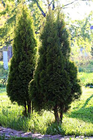 Arbor vitae in garden, retro photo filter effect Imagens