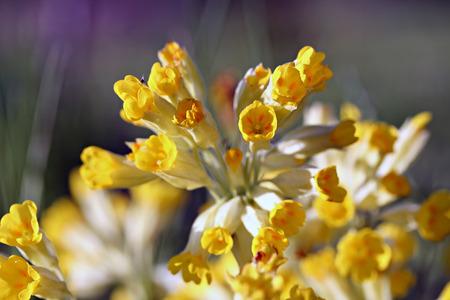 cowslip: Primula veris (cowslip, common cowslip), retro photo filter effect