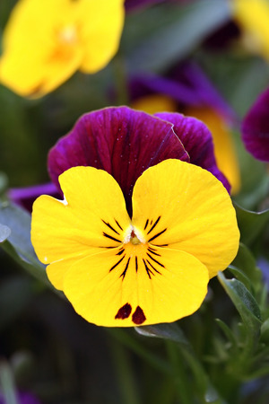 Pansies in garden, foliage and flowers photo