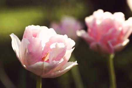 """Tulipa """"Angélique"""", rétro photo effet de filtre"""