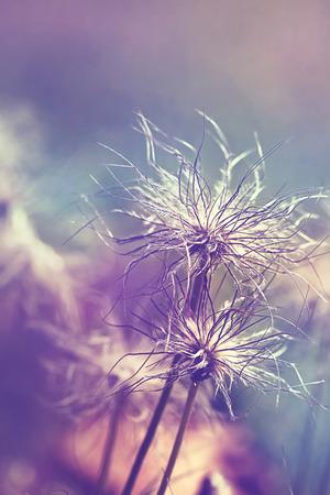 Pulsatilla vulgaris (pasque flower, pasqueflower) seedhead in garden. Toned with color filters photo