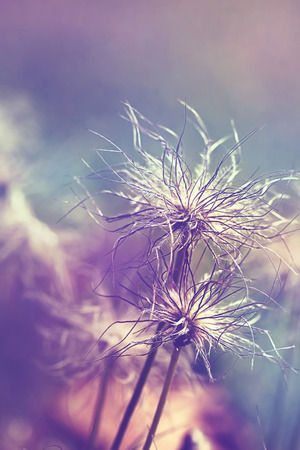 Pulsatilla vulgaris (pasque flower, pasqueflower) seedhead in garden. Toned with color filters photo