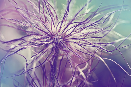 pulsatilla: Pulsatilla vulgaris (pasque flower, pasqueflower) seedhead in garden. Toned with color filters
