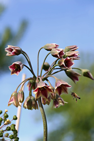 alliaceae: Allium siculum and bee, also known as Sicilian honey lily or Sicilian honey garlic  Stock Photo
