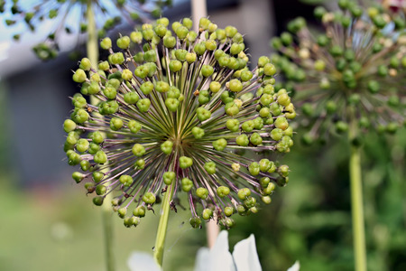 alliaceae: Giant Onion (Allium giganteum)  fruiting umbels