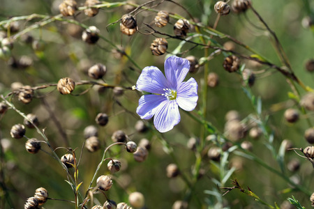 Linum perenne (perennial flax, blue flax or lint) photo