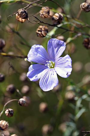 lint: Linum perenne (perennial flax, blue flax or lint)