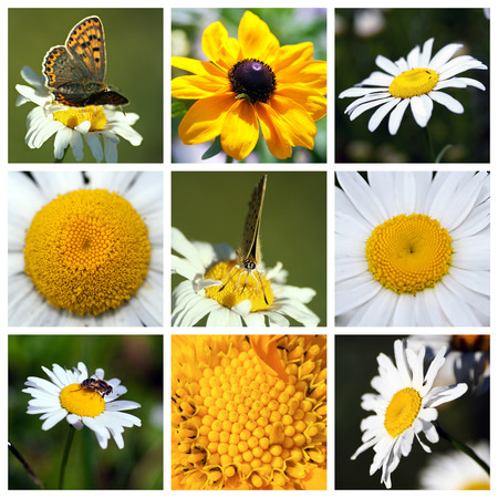 oxeye: Collage with beautiful white flowers - coneflower,  Leucanthemum, chamomile Stock Photo