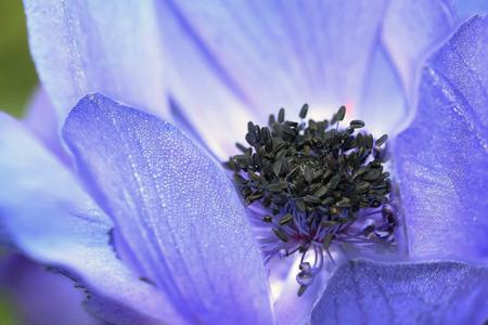 Blue Anemone coronaria  or poppy anemone, Spanish marigold photo