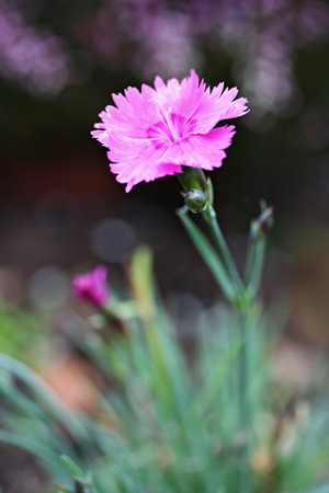 STEENANJER (meisjesnaam roze) bloemen in de tuin Stockfoto