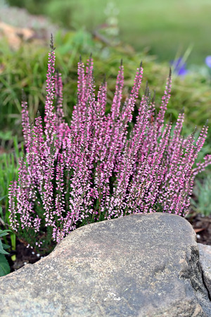 Calluna vulgaris also known as common heather, ling or simply heather photo