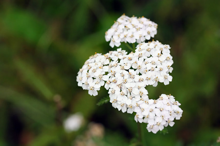 Achillea millefolium, known commonly as yarrow. Wildflower photo